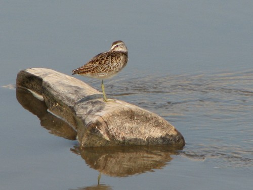 Short-billed Dowitcher, 9/08