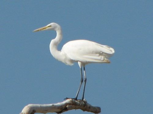 Great Egret, 10/08
