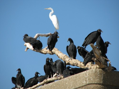 Great Egret with roosting Black Vultures, 10/08