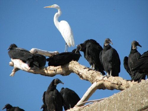 Great Egret with Black Vultures, 10/08