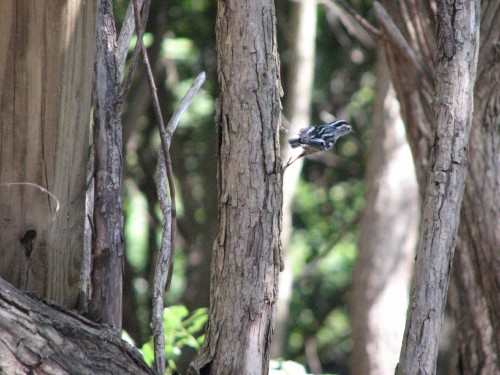 Black-and-white Warbler, 10/09