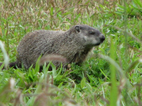 young groundhog, 10/09