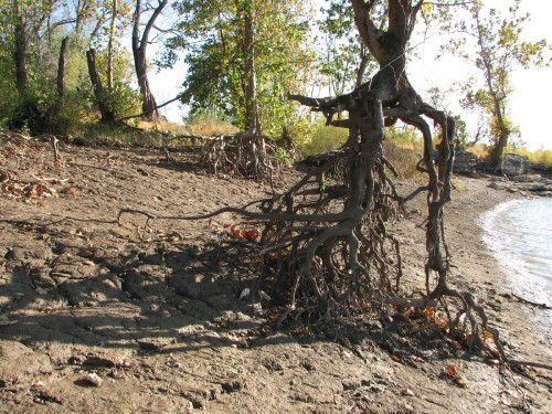Sycamores with open roots, 10/09