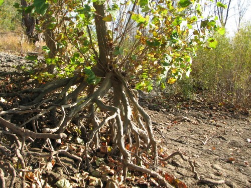 Sycamore roots, 10/09