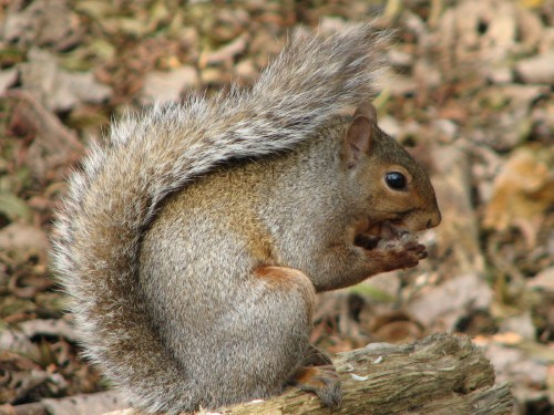 gray squirrel, 10/09