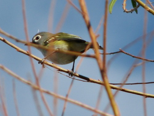 Blue-headed Vireo, 10/09