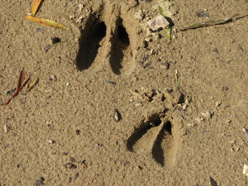 deer tracks in the sand, 10/09