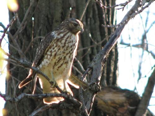 Cooper's Hawk, immature, 11/09