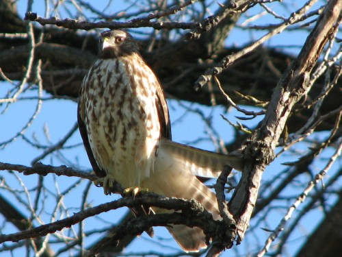 Cooper's Hawk, 11/09