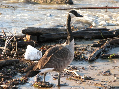 Canada Goose and Styrofoam, 11/09