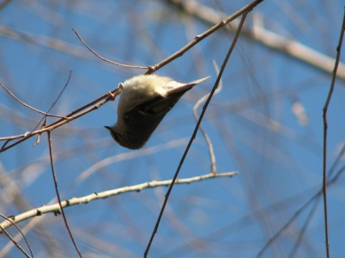 upside down Golden-crowned Kinglet, 11/09