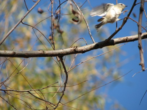 Golden-crowned Kinglet in action, 11/09