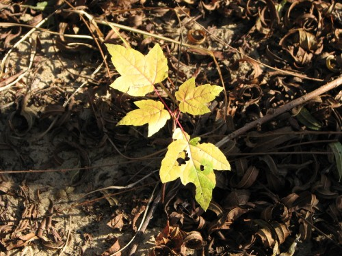 young maple tree's first autumn, 11/09