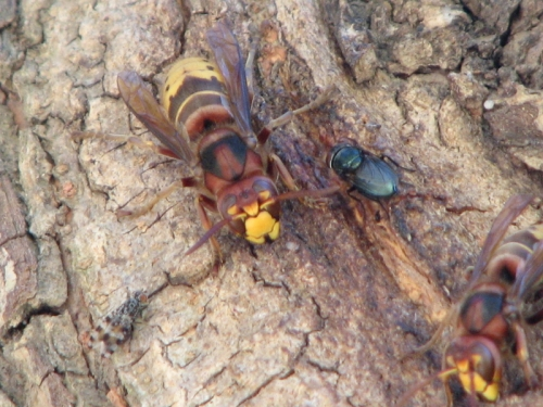hornets and flies on willow bark, 9/2010