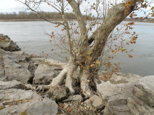 Sycamore tree, roots and rocks, Nov. 2012