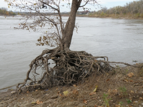 Tree with exposed roots, Falls of the Ohio, Nov. 2012