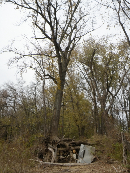 Great Cottonwood tree at the Falls of the Ohio, Nov. 2012