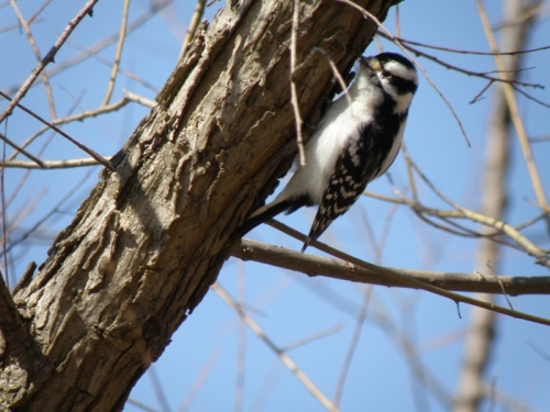 female Downy Woodpecker, Feb. 2013
