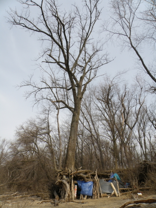Cottonwood tree hangout at the Falls of the Ohio, March 2013