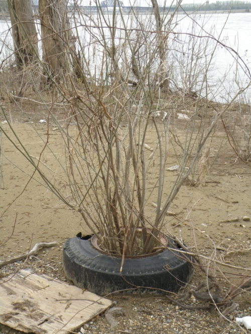 Willow growing within a tire, April 2013