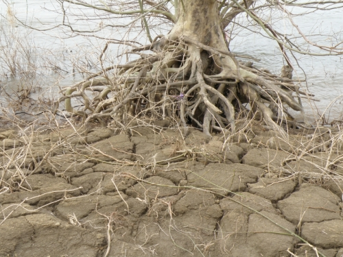 tree roots and river mud, April 2013