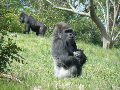 Lowland Gorillas at the Louisville Zoo, April 20, 2013