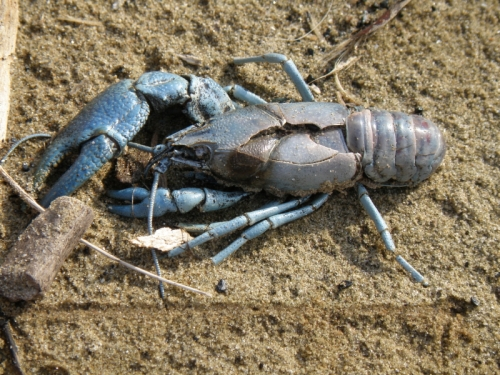 deceased blue crayfish found at the Falls of the Ohio, April 2013