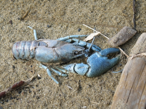 dead blue crayfish found at the Falls of the Ohio, April 2013