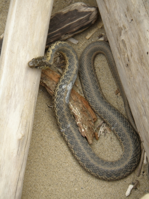Eastern Garter Snake, Falls of the Ohio, April 2013