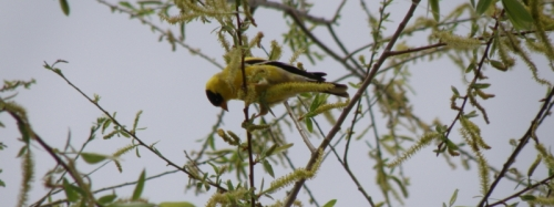 American goldfinch on willow, May 2013