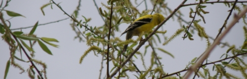 goldfinch on willow, May 2013