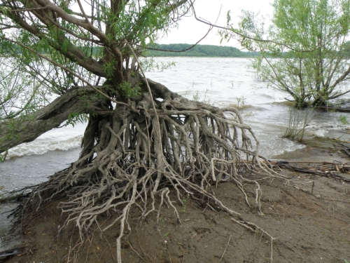 willow tree and roots at the Falls of the Ohio, May 2013