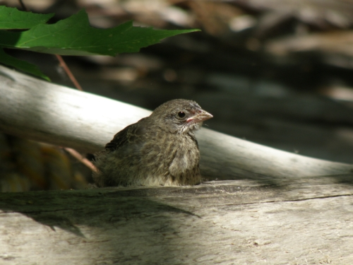 young Brown-headed Cowbird, June 2013