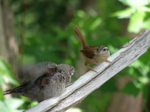 Brown-headed Cowbird chick and Carolina Wren, Falls of the Ohio, June 2013