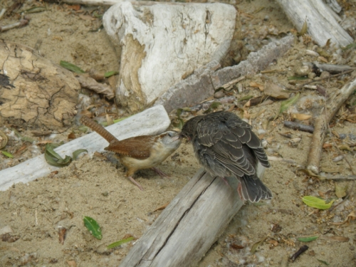 Carolina Wren feeding a Brown-headed Cowbird chick, Falls of the Ohio, June 2013