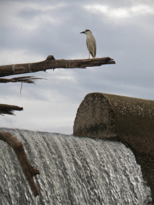 Black-crowned Night Heron at the Falls of the Ohio, June 2013