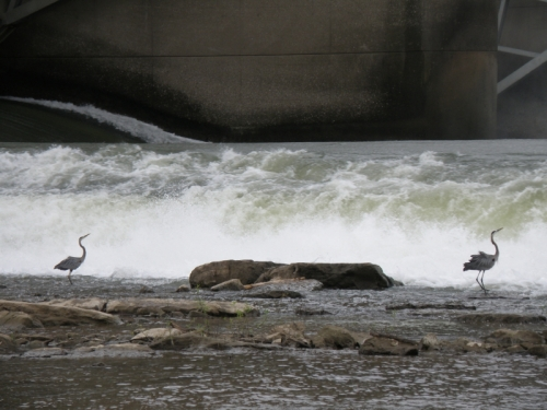 Great Blue Herons by the tainter gates at the Falls of the Ohio, June 2013