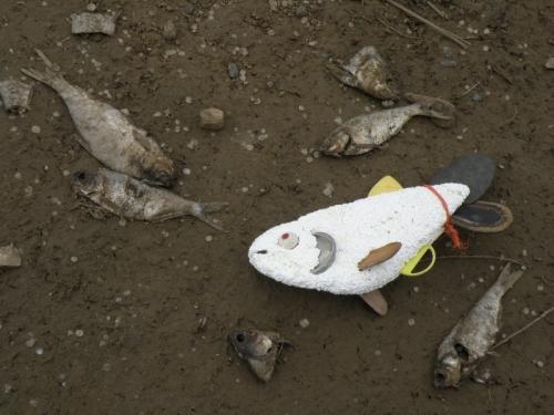 dead fish, June 2013