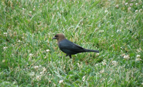 male Brown-headed Cowbird, Falls of the Ohio, June 2013