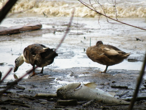 domestic ducks with dead catfish, July 2013
