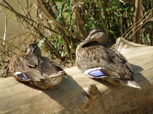 two resting female Mallard ducks, July 2013