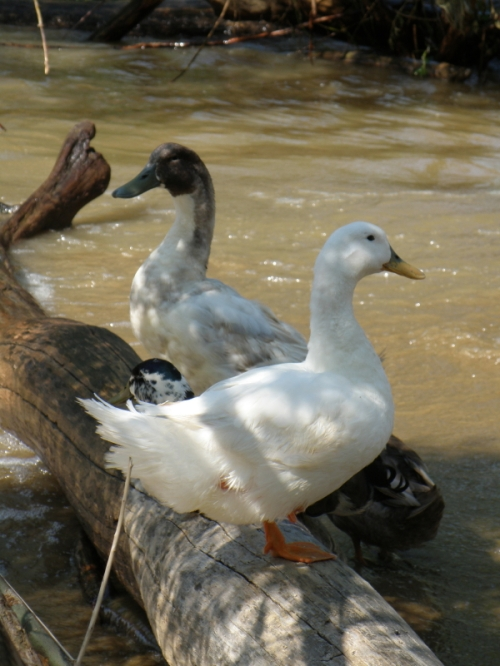 Domestic ducks, July 2013