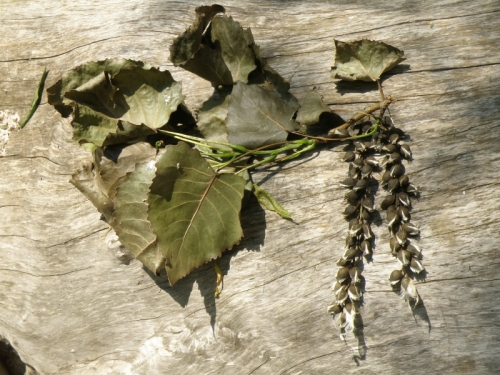 eastern cottonwood tree leaves and capsules, June 2013