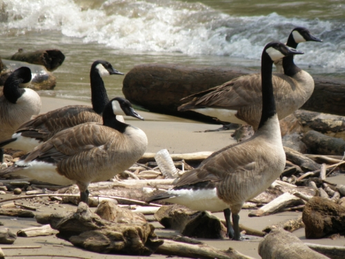 Canada geese at the Falls, July 2013
