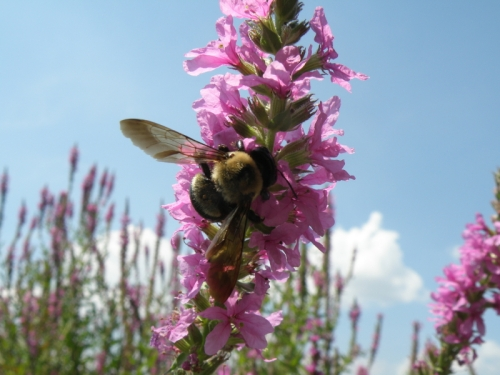 Bumble Bee on loosestrife flowers, Aug. 2013