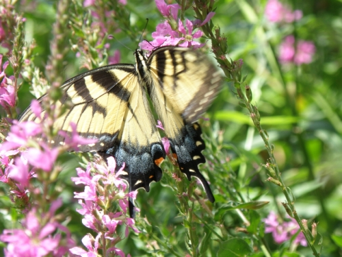 Tiger Swallowtail on purple loosestrife, Falls of the Ohio, Aug. 2013