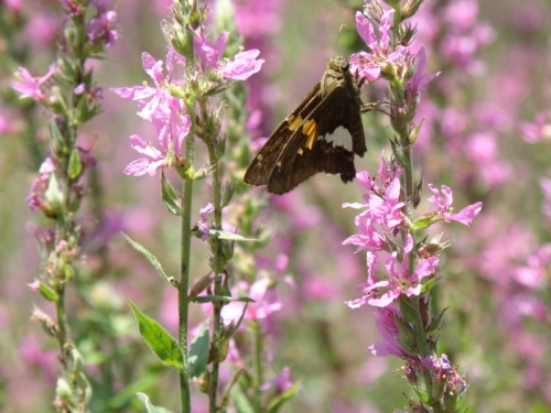 Silver-spotted Skipper on Purple Loosestrife, Falls of the Ohio, Aug. 2013