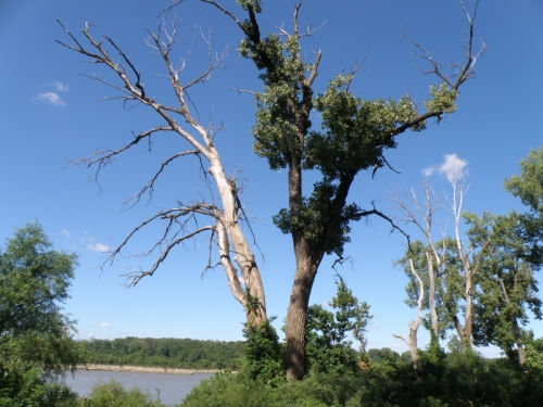 Tree in the western section of the Falls of the Ohio State Park, Aug. 2013