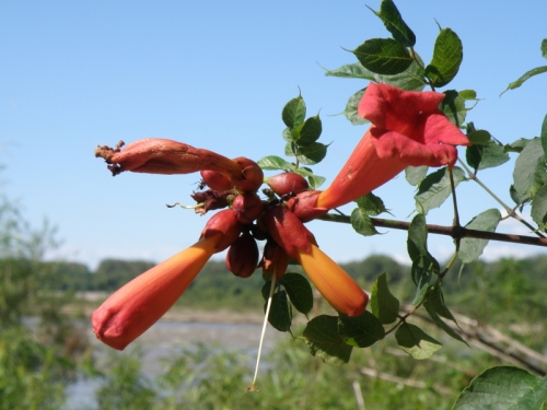 Trumpet Creeper, Falls of the Ohio, Aug. 2013