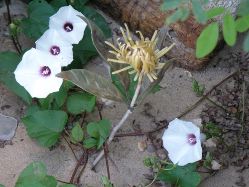 Goldstein's False Mum among Wild Potato Vine flowers, Falls of the Ohio, Aug. 2013